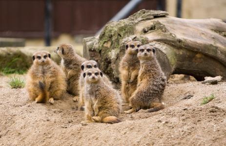 meerkat-164053_960_720